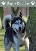 Siberian Husky-Happy Birthday (No Theme)